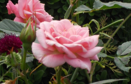 rs-groupA-commended-pink-roses-Mary-Lenahan