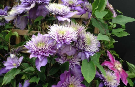 rs-groupA-commended-purple-clematis-against-trellis-Morlin-O'Brien