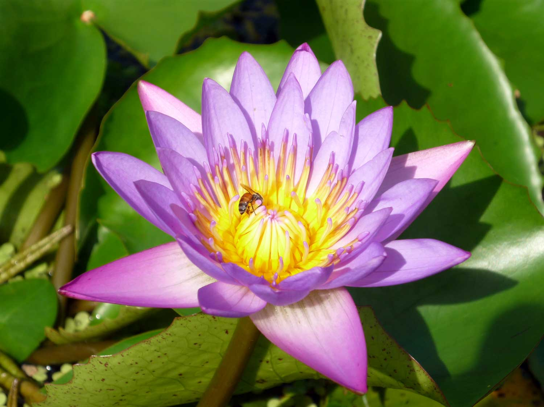 A lotus flower sue obrolchain foxrock garden club a lotus flower sue obrolchain 2015 group a highly commended izmirmasajfo