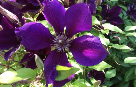 rs-groupB-commended-clematis-august2014-Annette-Fitzpatrick