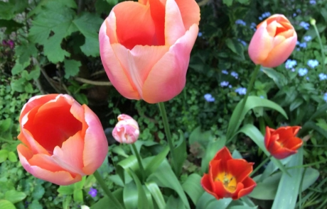 rs-groupB-commended-tulips-in-my-own-garden-Annette-Fitzpatrick