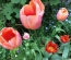 Protected: Visit to Mr Middleton's TULIP EXTRAVANGAZA at The Bay Garden Camolin, Co Wexford – Wednesday, 27th April 2016