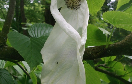 rs-groupC-commended-the-handkerchief-tree-Catherine-McCarthy