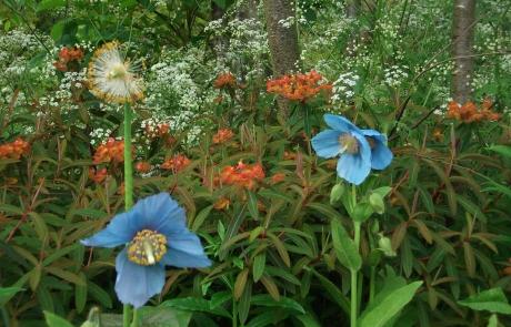 rs-groupC-winner-blue-poppies-Jimi-Blake's-Garden-Catherine-McCarthy