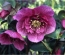 Protected: Hellebore Days at Mount Venus Nursery 25-26 February 2017