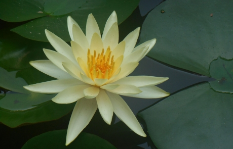 Group-A-Waterlily-Ischia-web