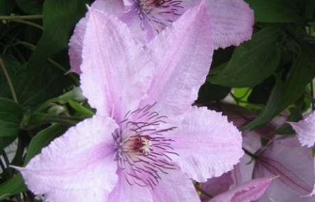 Group-B-Clematis-Pink-Fantasy