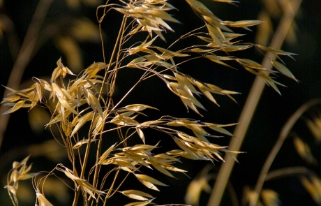 Group-B-Stipa-Gigantea-web